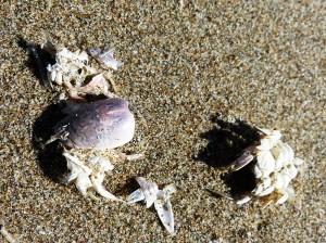 7-ORCo-Flo-BeachCrabs