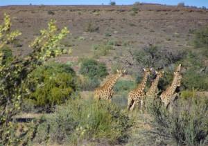 Gondwana Canyon Park Giraffen