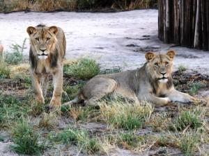 Löwen hautnah erleben bei der Dinaka Safari Lodge, Botswana, von Tanja Köhler