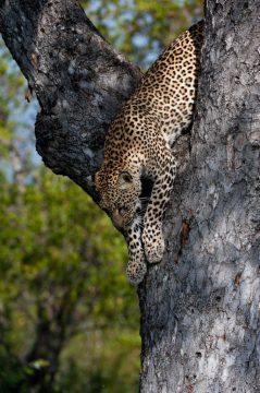 Leopard im Kruger Nationalpark Südafrika