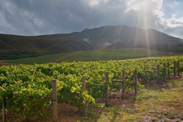 Bouchard Finlayson - Vineyard Südafrika